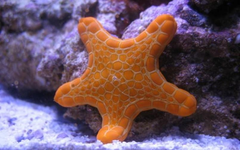 Biscuit Sea Star Tosia australia